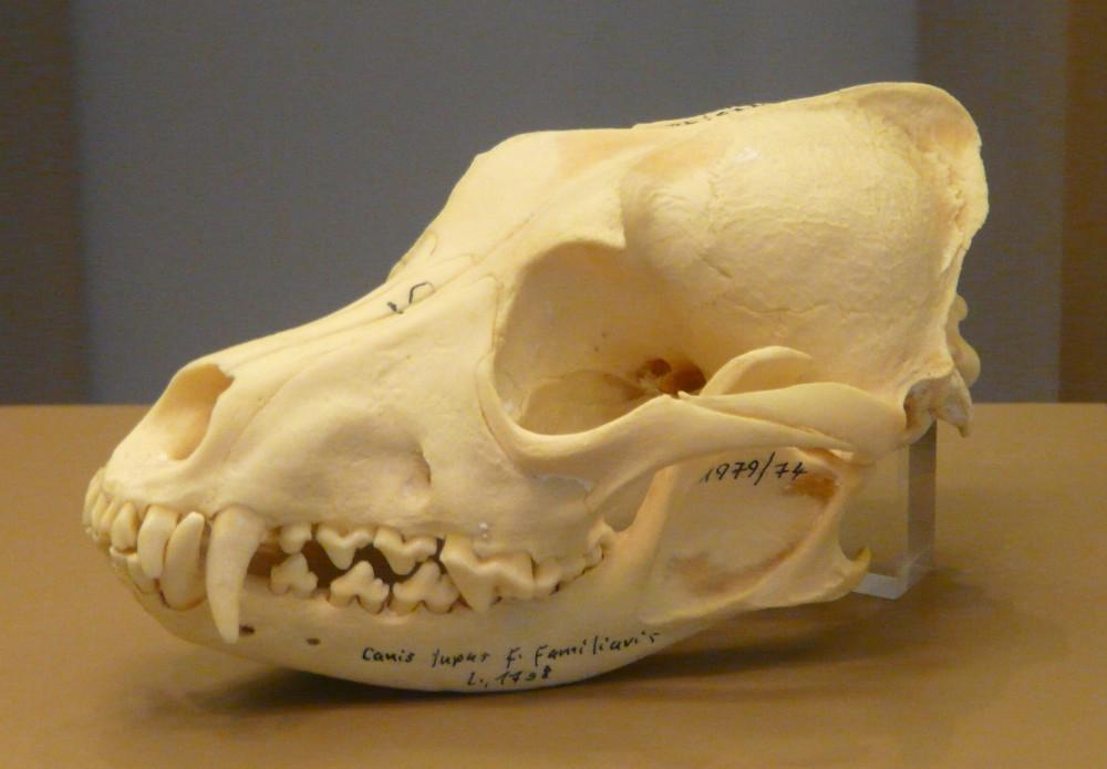 Vitrine Zähne. Lage der Eckzähne im Hundeschädel