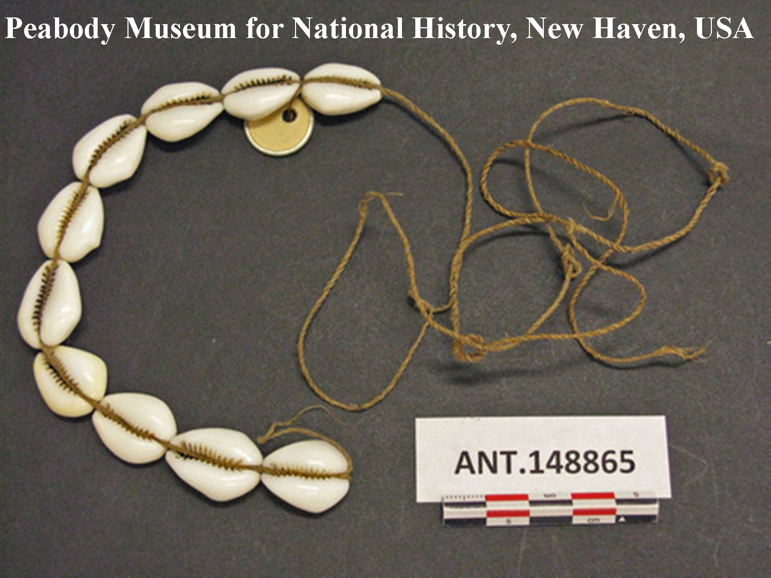 """Abb. 5: """"tuani mege"""", von den Weißen eingeführte Kauris von geringem Wert. Beschreibung: 10 cowries strung on inner bark string, used as shell money """"tuani mege"""". All are recently made pieces of shell introduced by white man. Low value. Length 7 ¾ in. Southern Kamu Valley, Kapauku, Netherlands New Guinea."""