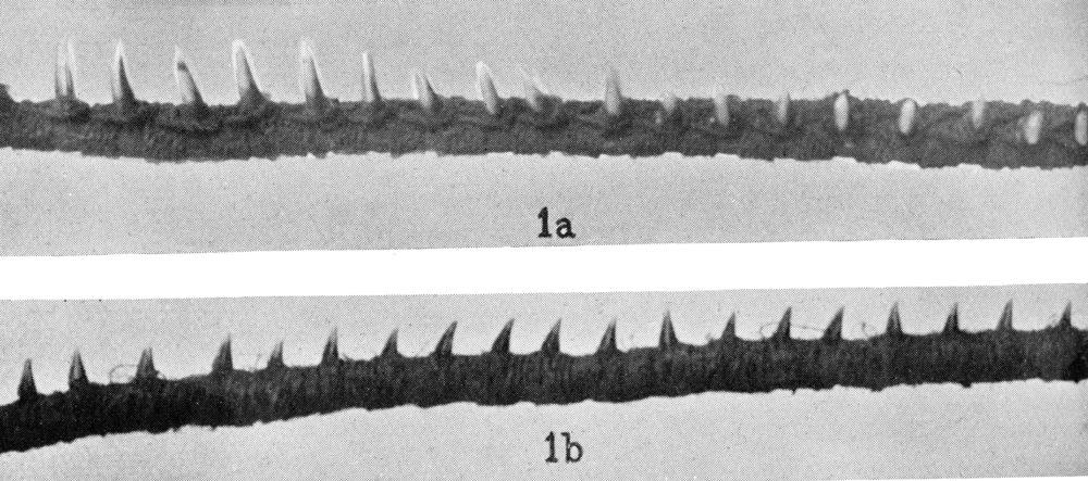 PGS 39,1 (2018) Tafel 3 Abb. 1a: imun mit Delphinzähnen, Abb. 1b: imun mit Pteropus Zähnen.